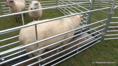 Shepherdsmate sheep Handling Equipment - Mobile or fixed yard Sheep Race with footbath